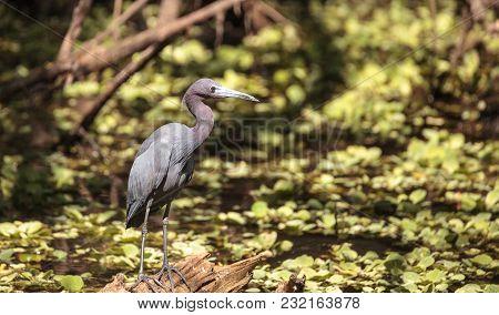 Little Blue Heron Bird Egretta Caerulea Hunts For Frogs Amid Water Fern Salvinia Minima In The Corks
