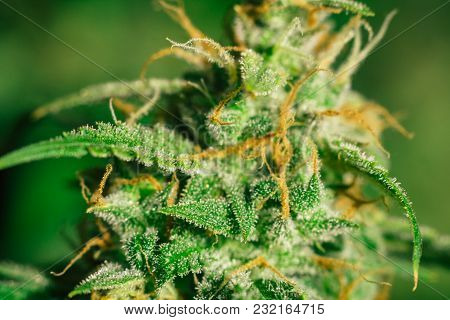 Macro Shot Trichomes On Buds Weed Cannabis With Sugar Trichomes. Concepts Of Grow And Use Of Marijua