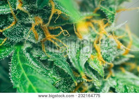 Macro Bud Cannabis, Medicinal Marijuana Cbd Thc. Concepts Of Legalizing Herbs Weed, Macro Shot With