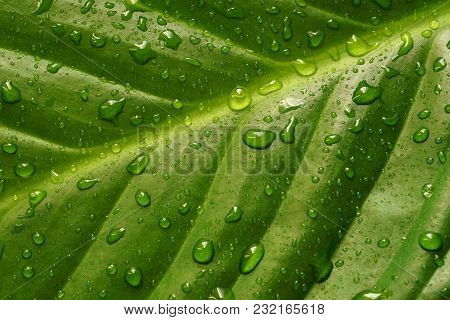 Closeup Of Green Leaf With Raindrops After The Summer Rain