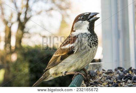 Common Sparrow Found In The Pacific Northwest At The Feeder Foraging For A Meal