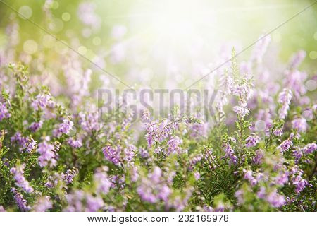 Erica Flower Field Or Meadow. Spring Or Summer Season. Sunny Light For Relaxing And Peaceful Atmosph