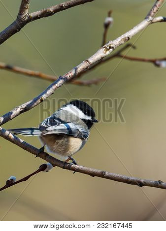 A Cute Little Black Capped Chickadee Is Perched In A Tree In North Idaho.