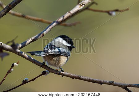 Perched Black Capped Chickadee In A Tree In North Idaho.