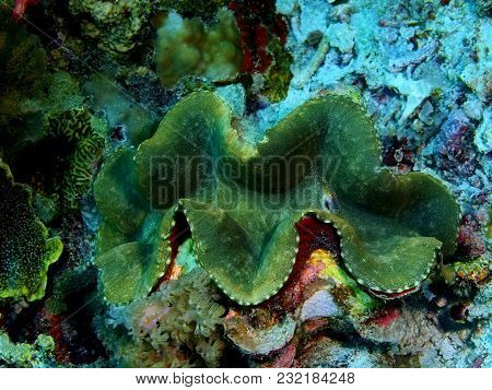 The Amazing And Mysterious Underwater World Of The Philippines, Luzon Island, Anilаo, Clam