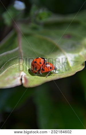 Two Beetle Ladybug Copulate On The Edge Of A Green Leaf, Two Red Ladybugs Mating On A Green Leaf. Sp