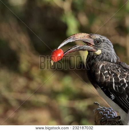 Hornbill bird with a red berry in its beak, Tigray region of Ethiopia