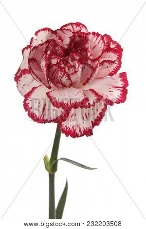 White and red carnation flower isolated on white.