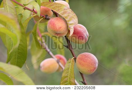 Sweet Peach Fruit Growing On A Peach Tree Branch In A Summer Garden