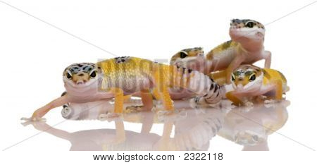 Group Of Young Leopard Gecko - Eublepharis Macularius