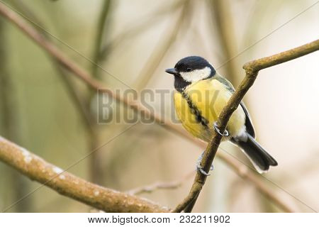 Great Tit (parus Major) Perched In Tree. Bird Washing With Striking Orange Breast, In Bath Botanical