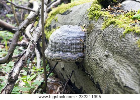 Mushroom Polypores Grows On Fallen Tree In Forest