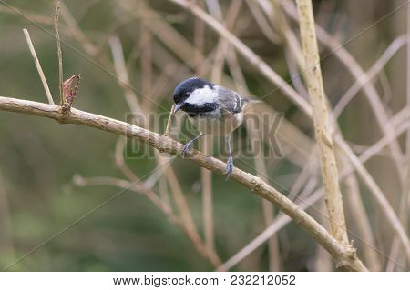 Coal Tit (periparus Ater) Perching On Branch. Bird Washing With Striking Orange Breast, In Bath Bota