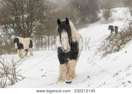 Three Irish Cob Ponies Walking In Heavy Snow. Black And White Horses In Field With Snowfall, In Bath