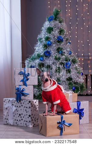 Cute American Hairless Terrier Is Sitting Near The Christmas Tree. New Year's Gifts. Pet Animals.
