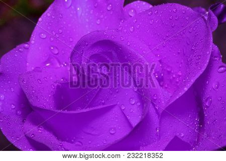 Inner Space Ultra Violet Rose With Drops Of Summer Rain. Close Up. Live Nature.