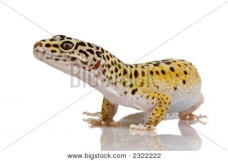 Gecko Leopardo - Eublepharis Macularius