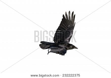 Jackdaw (coloeus Monedula) Crow Cut Out And Isolated On A White Background