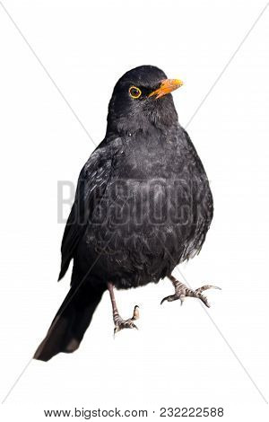 Blackbird (turdus Merula) Cut Out And Isolated On A White Background