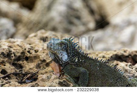 Green Iguana On Rocks Looking Toward Camera