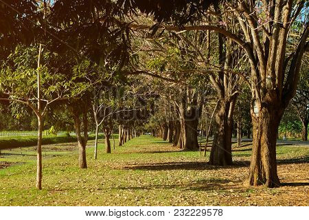 Straight Way Between Left And Right Tress Looks Like Tunnel In The Green Grass Park