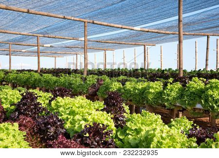 Organic Green And Red Oak Lettuce Vegetable Plant In Farm For Agriculture Concept. Cultivation Hydro