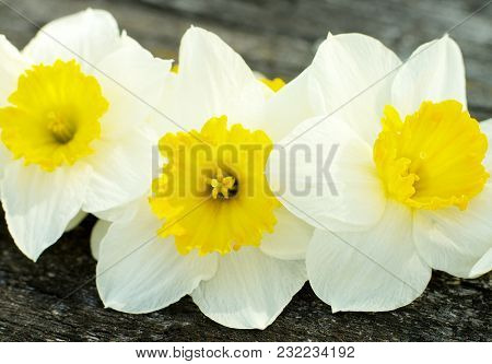 Three Fragile Spring Yellow Daffodils Closeup On Natural Weathered Wooden Background. Focus On Cente