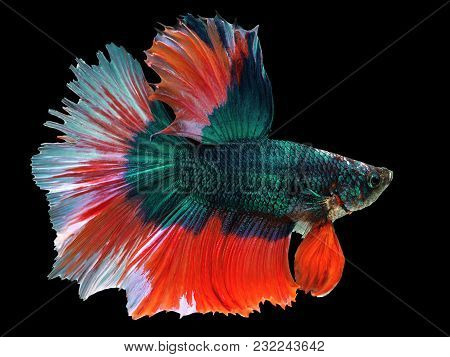 Beautiful Green Thai Fighting Fish Swimming With Long Fins And Red White Colorful Long Tail Gene. Fi