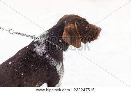 German Hunting Watchdog Drahthaar, Beautiful Dog Portrait In Winter