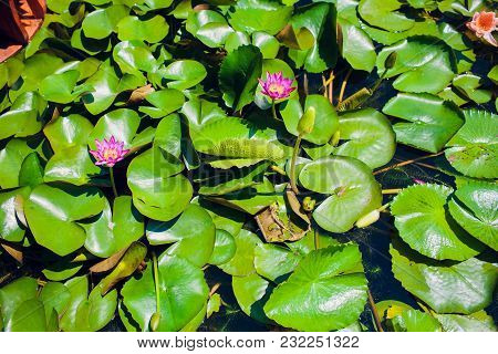 Red Lotus Flower Blooming Asia Vietnam Green