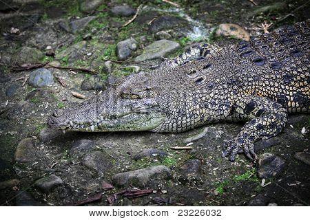 big crocodile in borneo park, malaysia poster
