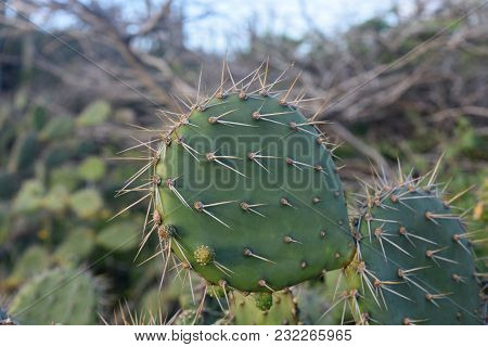 Looking Close Up At A Prickly Pear Cactus In Aruba.