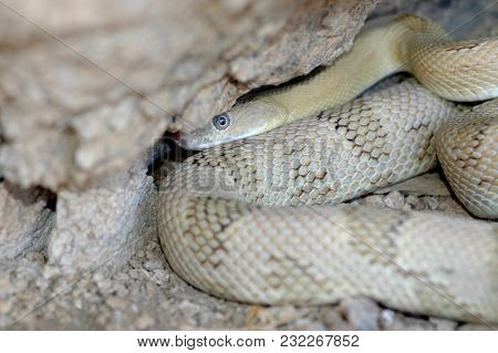 A Blond Phase Trans-pecos Rat Snake Attempting To Hide In A Rock Crevice.