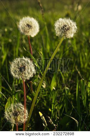 Seeds Of Dandelions In The Warm Light Of The Setting Sun Of June