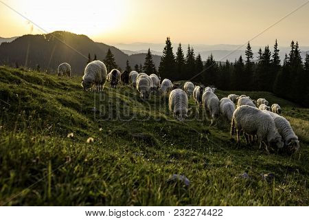 Herd Of Sheep Grazing On A Mountain Pasture In The Countryside Of Romania