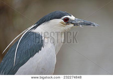 A Black Crowned Night Heron Close Up