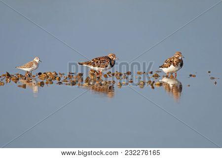 Ruddy Turnstone Arenaria Interpres Beautiful Birds Of Thailand