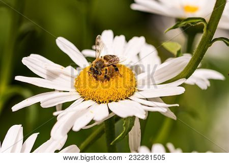 Honey Bee Closeup On A Blossoming White Daisy Flower During A Sunny Day