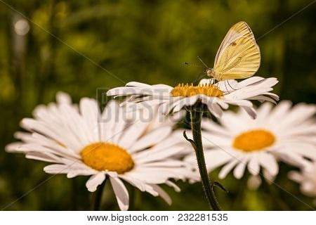 Small Yellow Butterfly Closeup On A White Daisy Flower In Sunny Summer Day
