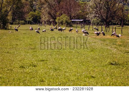 Large Group Of Storks On A Green Pasture In The Countryside Of Romania