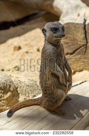 Portrait Of Meerkat Suricata Suricatta Standing In Typical Position. Small Carnivore Belonging To Th
