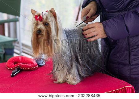 Yorkshire Terrier Is Preparing For The Dog Show. Dog Breeding
