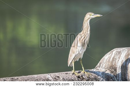 A Pond Heron (ardeola) Basking In The Sun Beside A Lake
