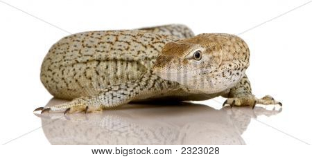 Monitor Lizard - Monitor pecosa - Varanus Tristis Orientalis