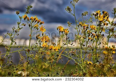 Bright Beautiful Yellow Flowers On A Green Field Against The Dark Blue Sky.