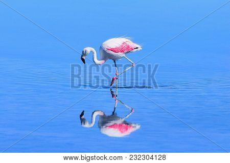 Pink Big Bird Flamingo In The Water. Atacama Desert. Chile.