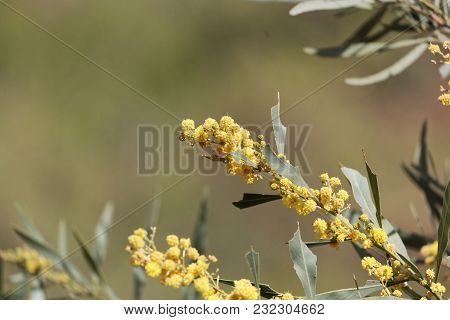Flowers Of A Golden Wattle Tree (acacia Pycnantha)