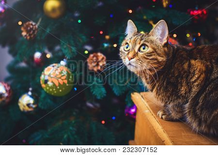 Mad Cat At Home Sitting On A Wooden Box Beautiful Christmas Background With A New Year Daccor, Gifts