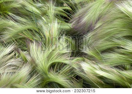 The Green Foxtail Barley Hordeum Jubatum At The Garden