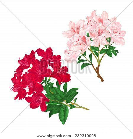 Branches Light Pink And Red Flowers Rhododendrons  Mountain Shrub On A White Background Set Five Vin